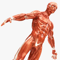 realistic human musculature model