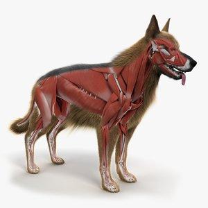 skin dog skeleton muscles 3D model
