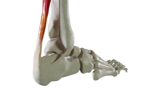 3D foot bones