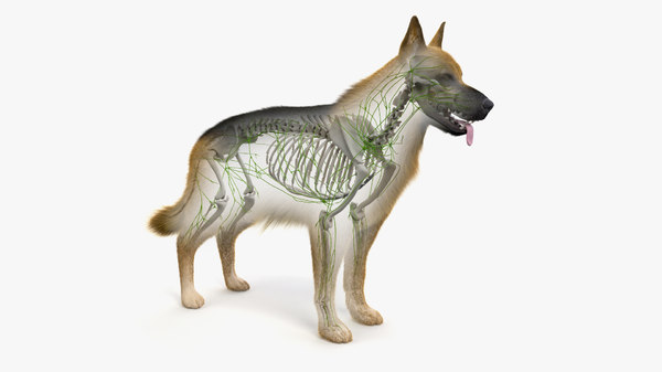 skin dog skeleton lymphatic model