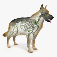 Dog Skin, Skeleton And Lymphatic System Animated