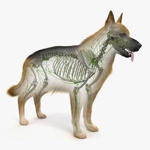 skin dog skeleton lymphatic model