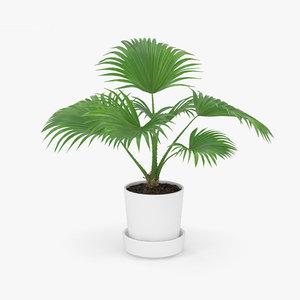 3D livistona palm model