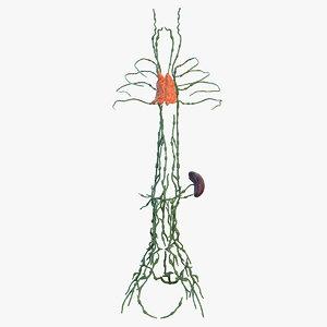 3D human torso lymphatic