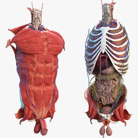3D male torso anatomy