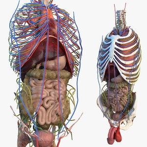 3D male torso internal organs