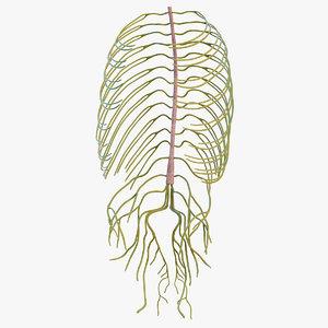 3D human torso nervous model