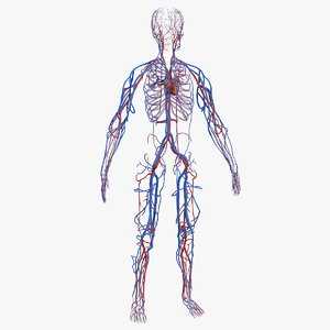 human cardiovascular vascular body model