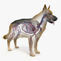 skin dog skeleton vascular 3D model
