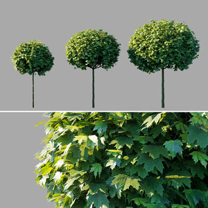 tree globosum model