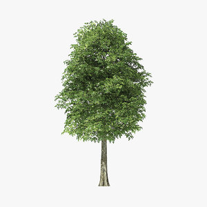 rock elm tree 3D model