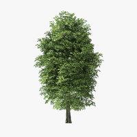 13 Meter Rock Elm Tree