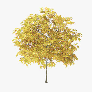 autumn rock elm tree model