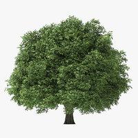 6 Meter Rock Elm Tree
