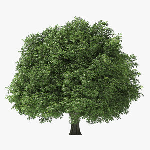 rock elm tree 6 3D