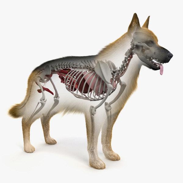 3D model skin dog skeleton organs