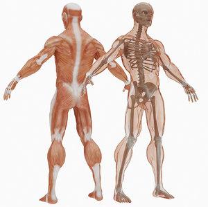 3D sleletal muscular set model