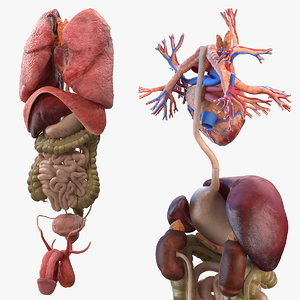 3D male internal organs