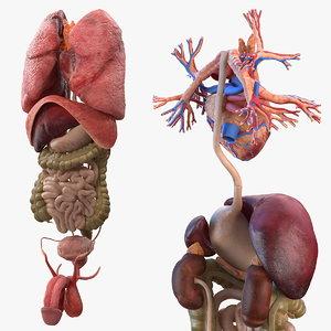 3D male internal organs