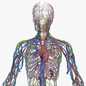 male cardiovascular lymphatic nervous 3D model
