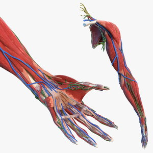 male arm anatomy 3D model