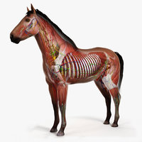 3D skin horse anatomy animation model