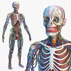 male skeleton internal organs 3D
