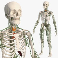 3D male skeleton lymphatic model