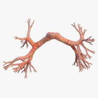 3D human bronchi