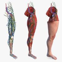 Male Leg Full Anatomy and Skin