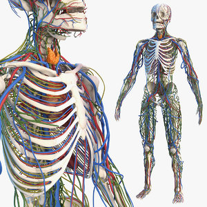 male skeleton cardiovascular lymphatic 3D model