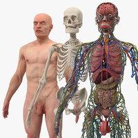 male skeleton internal organs model