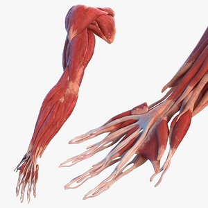 3D male arm muscular