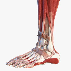 male leg muscles bones human 3D model