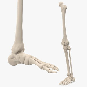 3D male leg foot skeleton human