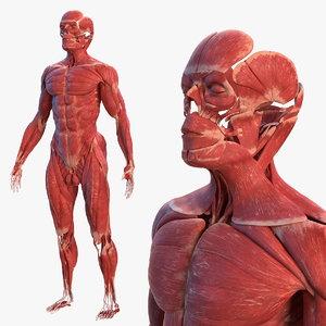 3D male muscular body