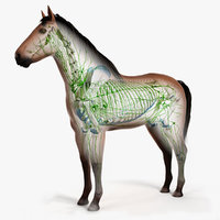 3D skin horse skeleton lymphatic