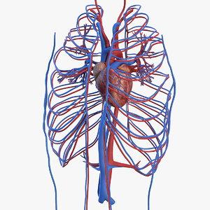 human cardiovascular vascular model