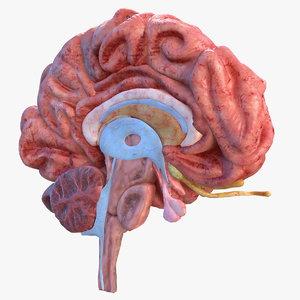 3D human brain anatomy section