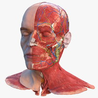 Anatomical Male Head Model with Neck