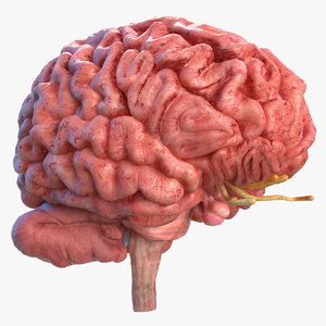 3D human brain anatomy model