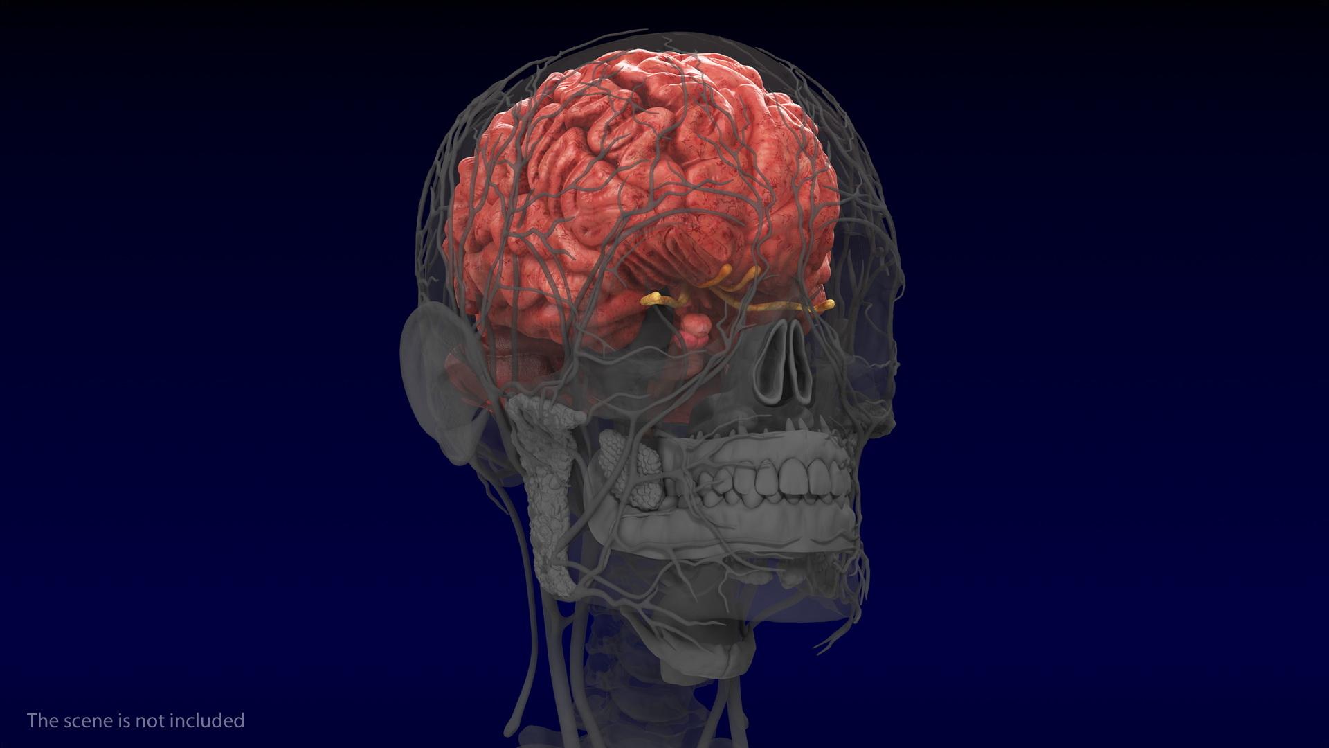 3D human brain anatomy model