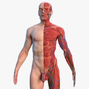 3D complete male body anatomy skin