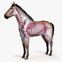 Horse Skin, Skeleton And Vascular System Animated