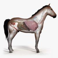 3D skin horse skeleton organs