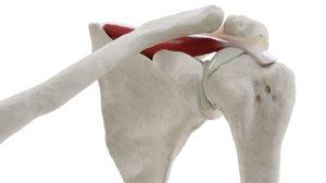 3D bones supraspinatus model