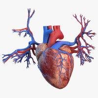 3D human heart bronchi