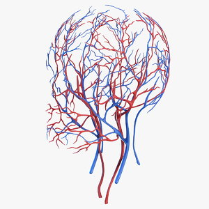 human head cardiovascular vascular 3D model