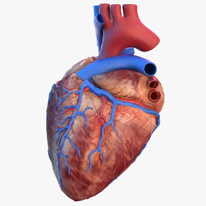 3D model human heart modeled