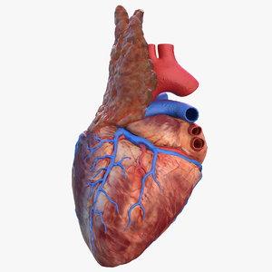 human heart thymus 3D